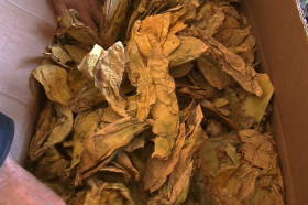 Откупени 90 отсто од договорените количини тутун во Струмичко