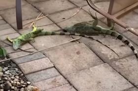 Дожд од игуани на Флорида поради ниските температури (ВИДЕО)