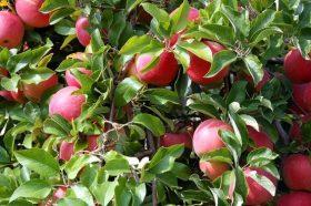 Арамии украдоа 27 тони јаболка