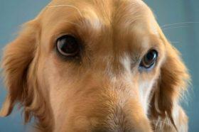 Наши миленици: Луна, златниот ретривер со најубави очиња