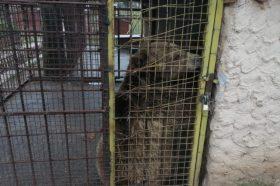 Мечето Теди од штипската ЗОО ќе замине во паркот на танцувачките мечки во Бугарија