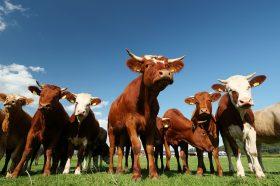 Бабовски: Исплатени субвенциите за одгледувачите на говеда