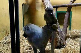 Тажното мајмунче Лука од битолска зоолошка се врати во Скопје ЗОО