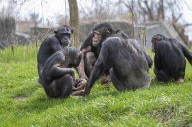 Илјадници мајмуни заразени од коронавирус: Научниците експериментираат за да дојдат до ефикасна вакцина (ВИДЕО)